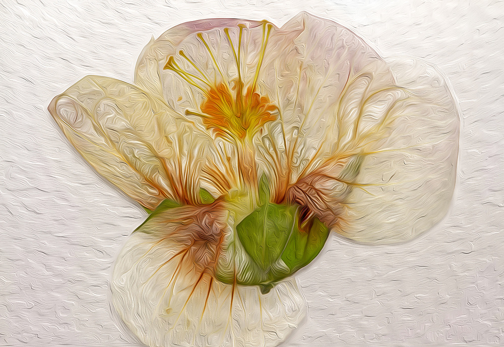 photoblog image dried Abutilon
